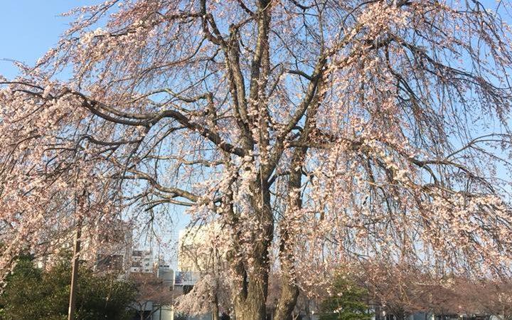 桜の季節ですよー!